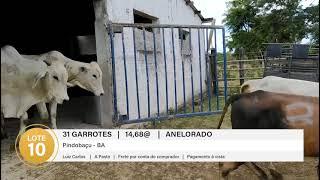 31 GARROTES ANELORADO
