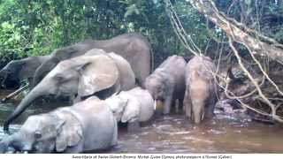 preview picture of video 'In Gabon front of trap cameras, elephants crossing Ndouni River.'