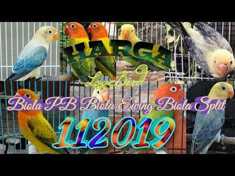 Harga terbaru LOVEBIRD Biola Pb, Biola Ewing dan Biola Split