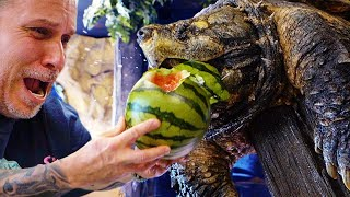 ALLIGATOR SNAPPING TURTLE vs WATERMELON!! YOU WON'T BELIEVE THIS!! | BRIAN BARCZYK