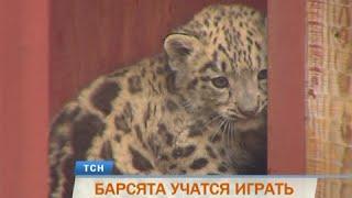 В пермском зоопарке показали барсят-тройняшек