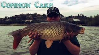 Big Common Carp At Puddingstone Lake