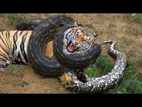 Python Vs Tiger, Python attack Tiger to Die, Wildlife Lion, Boar, Zebra, Buffalo
