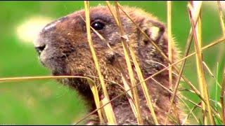 Сурок байбак. Где и как живут сурки #фотоохота || groundhogs