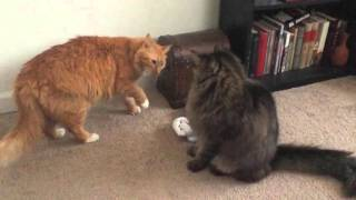 Download Video Simba vs Scar Fight Reenactment By My Cats MP3 3GP MP4