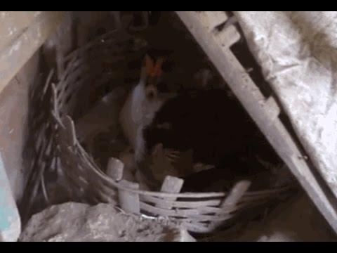 Video Ternak Bebek Mentok Entok Habis Kawin dan Bertelur kecil - kecilan