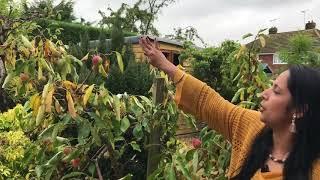 London Home Garden & Unique Fruit Trees - லண்டன் வீட்டு தோட்டத்தில் புது வித பழ மரங்கள்
