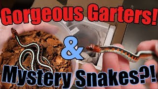 Unboxing Red-Sided Garters! And Mystery Snakes??