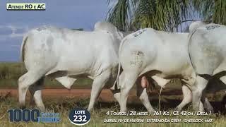 4 touros Nelore PO  (Atende RO e AC)