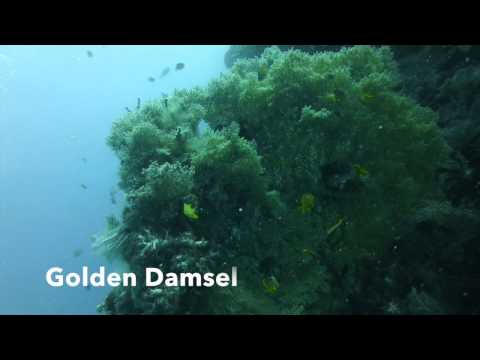 Golden damselfish in Philippines