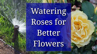 Watering Roses for Better Flowers