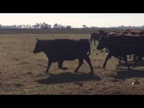 Afiche 100 Vacas nuevas con garantía de preñez - Buenos Aires