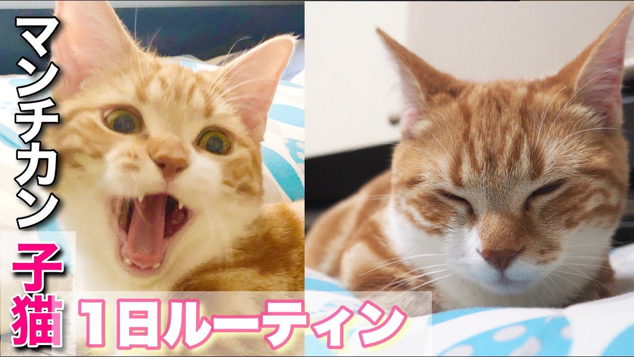マンチカンの子猫ちゃたの1日ルーティンに癒される