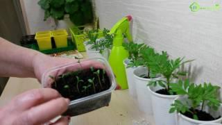 Выращивание рассады бархатцев видео
