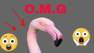 The Only Flamingo Video You Need to Watch |We Need to Talk About Flamingo|| THE SECRECT OF NATURE