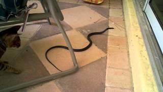 Savannah cat vs. snake