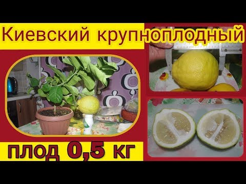 Домашний лимон на подоконнике. Киевский крупноплодный. Вес плода 0.5 кг.