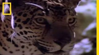 Jaguar - Hunting Technique