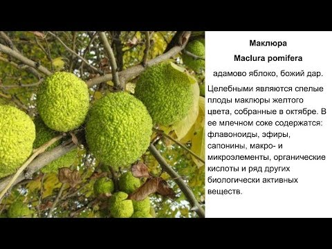Маклюра, адамово яблоко. Польза и противопоказания. Рецепты народной медицины, применение.