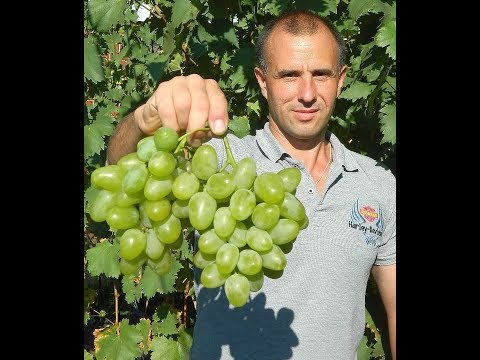 Виноград Монарх. Сезон 2017. (Grape Monarch. Season 2017)