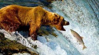 Дикая природа Аляски Одинокий бурый медведь желает лакомиться лососем в водопадах реки Брукс Ч 2