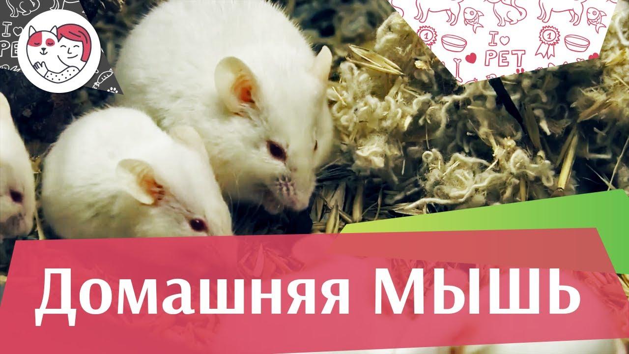 Мышь домашняя на ilikepet