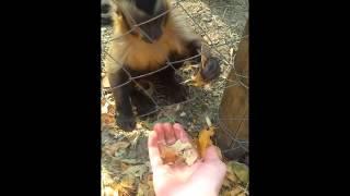 Смотреть онлайн Обезьянка учит человека крошить листья
