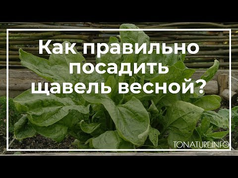 Как правильно посадить щавель весной? | toNature.Info