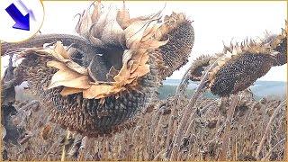 Уборка подсолнуха. Урожай подсолнуха. Фермерство - наглядный пример! #СельхозТехника_ТВ