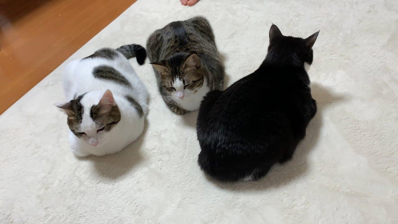 行儀わるい香箱座りをする猫