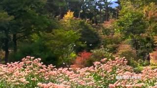 赤城自然園・渡りチョウ『アサギマダラ』の飛来