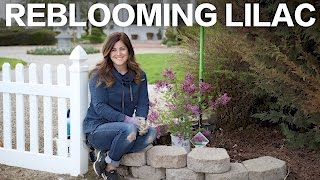 Bloomerang Purple Reblooming Lilac // Garden Answer