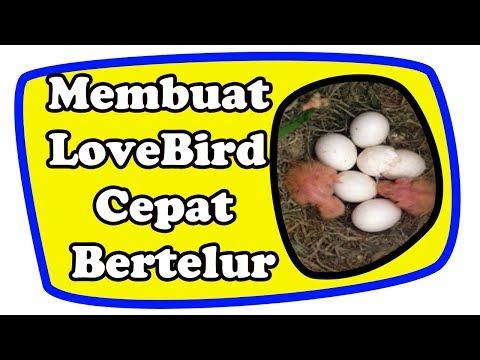 Video Cara Membuat LoveBird Cepat Bertelur
