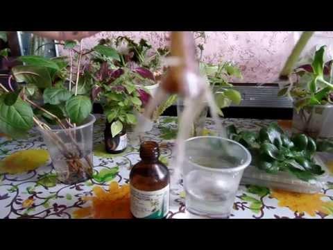 Укоренение черенков комнатных растений в воде. Немного о корешках)))
