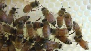 Honey Bees in Winter - An Amazing Sound