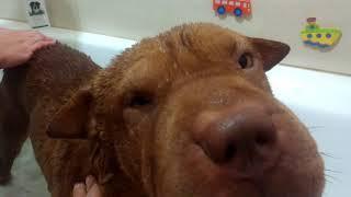 Дрессировка Шарпея. Купание собак. Как правильно это делать. 2017  Bathing dogs. How to do it right.