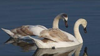 preview picture of video 'Ptice Hrvatske - Crvenokljuni labud (Cygnus olor) (Birds of Croatia - Mute Swan) (5/5)'