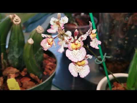 Гидрогель, Моя Толумния зацвела, и обзор цветущих орхидей.