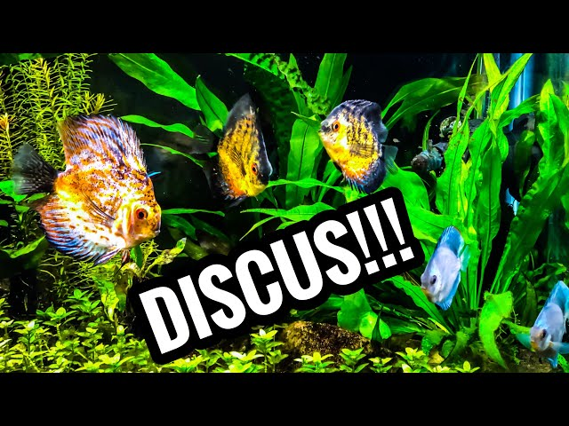 My First Discus - Tazawa Tanks Fishroom Changes