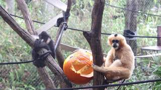 Halloween Enrichment for Animals at Perth Zoo