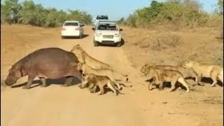 Top 5 Best Hippo Sightings Compilation