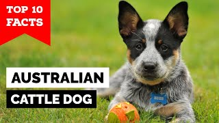 Australian Cattle Dog - Top 10 Facts