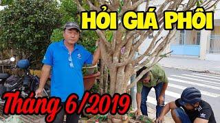 Hỏi Giá Phôi Mai  Tháng 6 2019  Bonsai Can Tho
