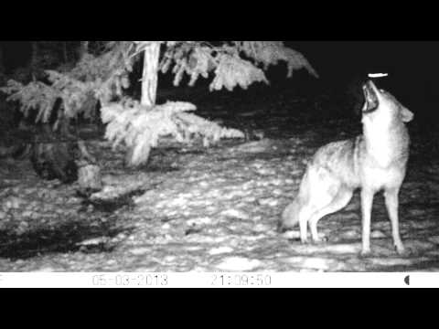 Coyote Pack Howl