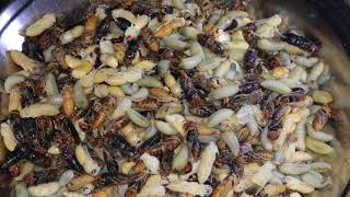 Hornet Hunting (अरिंगाल सिकार)