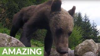 Hidden camera captures wild brown bears in Transylvania