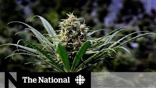 Legal pot bill passes, cannabis critics raise concerns
