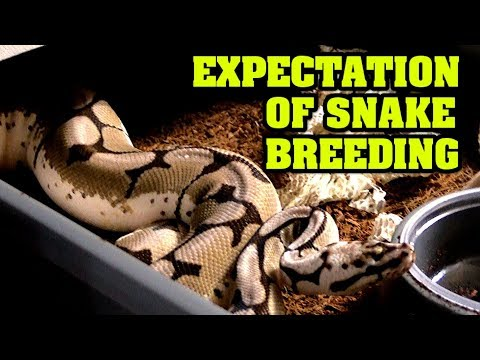 Expectations with breeding ball pythons, did we exceed or fall short?