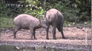 难得一见的神秘野生动物 (巴比如萨猪鹿) 第2集