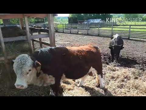 Каких бычков покупать на откорм.